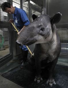 A zookeeper brushes the back of a baird's tapir, an endangered species, inside her enclosure at the Preservation and Research Center in Yokohama, south of Tokyo October 25, 2010. The facility, which is located at the breeding zone of Yokohama Zoological Gardens, is closed to the public to allow selected endangered species to breed in the most suitable environments and to study the endangered animals, according to the center. Negotiators from over 190 countries are gathered in Nagoya, Japan…
