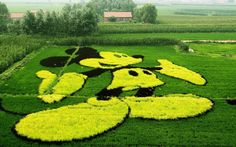 mickey mouse.haha.Paddy field art in Shenyang, Liaoning Province, China