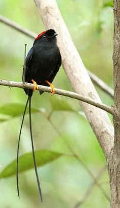 Manakín - The Long-tailed Manakin (Chiroxiphia linearis) is a species of bird in the Pipridae family. It is found in Costa Rica, El Salvador, Guatemala, Honduras, Mexico, and Nicaragua.