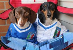 This is us Frankie & Zoey cheering on mums World cup team Italia!  visit us on FB @ https://www.facebook.com/SpoiledLittleDachshunds?ref=hl
