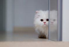 6 Cara Mengenali Kucing Ras Persia Himalaya, Tips Merawat Kucing Himalaya Cute Kittens, Cats And Kittens, Cats Bus, White Persian Kittens, White Cats, Baby Animals, Funny Animals, Cute Animals, Crazy Cat Lady