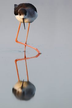 Black winged Stilt  - الكرسوع أبو مغازل - ابو عصاقيل | by معضاد