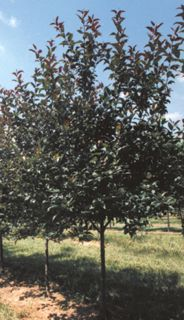 Sester Farms Prairifire Crabapple Latin Name: Malus 'Prairifire' Wholesale Tree Nursery