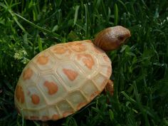 Pretty albino tortoise in a yard.