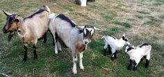 Benefits of Raising Goats:  Learn how raising goats is an excellent source of milk and cheese as well as tips on buying, housing and fencing, feeding, birthing and milking.  (Article Source: MotherEarthNews.com)