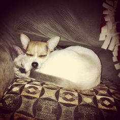 Cuteness Heart Melting, Chihuahua, Corgi, Best Friends, Babies, Cute, Animals, Beat Friends, Animales