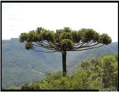 Araucaria - Brasil   Pesquisa de imagens do Google para http://1.bp.blogspot.com/_4hlpVAZfzg0/SSM0YfKqNWI/AAAAAAAAAQs/1FySqxS9gUI/s400/araucaria.jpg