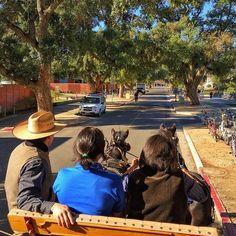 """UC Davis CA&ES Dean Helen Dillard takes the reins during a draft horse tour of the @ucdavis campus Wednesday morning. …"""