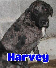 Catahoula Leopard Dog dog for Adoption in Lawrenceburg, KY. ADN-461639 on PuppyFinder.com Gender: Male. Age: Adult