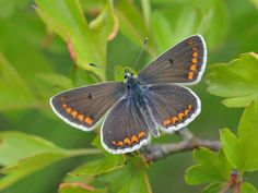 Butterfly Conservation is a British charity devoted to saving butterflies, moths and their habitats throughout the UK. Winners And Losers, Rare Species, Wildlife Photography, Conservation, Habitats, Butterfly, Pictures, Animals, Scotch