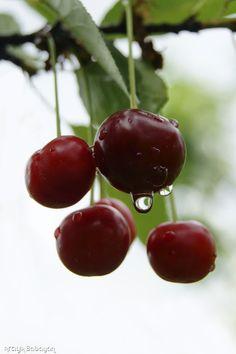 Les cerises c'est excellant quant on à 12 sur un arbre dans un jardin défendu...