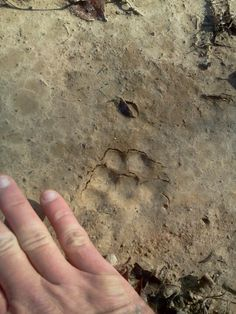 West tn- bob cat paw  print behind our house