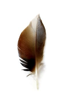 mallard wing feather | STILL (mary jo hoffman)
