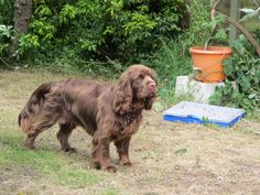Harvey the Sussex spaniel