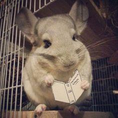 They love a good book… | Community Post: 10 Reasons Chinchillas Are Super Cute