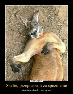 View Video of Sleeping Roo Series HERE The kangaroo is alive and well.I am just making fun that it looks like rigamortis has set in! Funny Photos, Funny Images, Animals And Pets, Cute Animals, Dangerous Animals, Funny Fashion, Try Not To Laugh, Wildlife Art