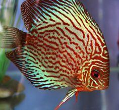 Discus fish / aquarium