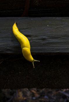 yellow banana slug! Miss you @Krista Blevin