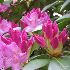 a design snack: Rhode Trip to Salem rhododendrons