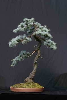 Blue Atlas Cedar #bonsai - Mine is twenty five years old and stands about four feet high a touch bigger than this little specimen