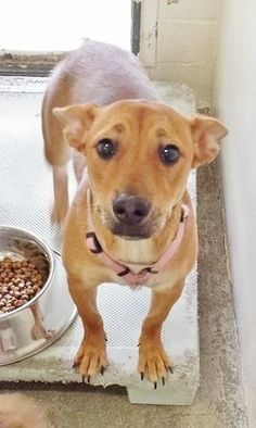 She is 2 and I think she has the most worried look on her face of all the dogs in the shelter. She has big, cute ears that pop up when you talk to her. She is amazing. Please take another look at her and SHARE this beautiful girl. Thanks!  #A4753576 I'm an approximately 2 year old female chihuahua sh. https://www.facebook.com/171850219654287/photos/pb.171850219654287.-2207520000.1410370690./305245136314794/?type=3&theater