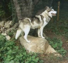 Native American Indian Dog pets