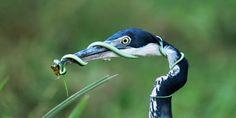 Wenn man keine Ahnung hat...  ...einfach mal den Schnabel halten. Der Schwarzhalsreiher hat allerdings alles im Griff. Die Mahlzeit wird schon bald verputzt, auch wenn der Eindruck noch täuscht. Schlangen gehören zur Lieblingsspeise der Reiher. Sie werden im Ganzen und mit einem Mal verschlungen. Das Bild wurde in Kenia aufgenommen. Dort sind die Reiher recht weit verbreitet. Die Schwarzhalsreiher gibt es fast in der gesamten äquatorialen Zone Afrikas.