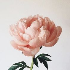 New Pic Peonies aesthetic Ideas The peony will be insanely attractive in bloom via spring so that you can summer—by using abundant vegetati Deco Floral, Arte Floral, Origin Of Valentine, Valentine's Day Origin, Bloom, Planting Flowers, Flowers Garden, Floral Arrangements, Beautiful Flowers