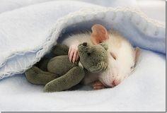 rat love.