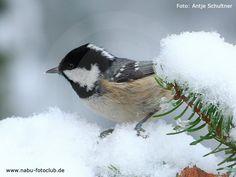 Die Mini-Kohlmeise - Die Tannenmeise (Parus ater) - https://www.nabu.de/tiere-und-pflanzen/aktionen-und-projekte/stunde-der-wintervoegel/vogelportraets/14391.html