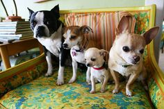 Chihuahuas and and boston :)sitting pretty! so much cute on one chair!