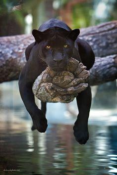 Jaguar by Charlie Burlingame