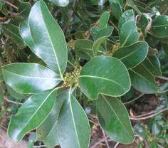 Foliage and flower buds of Sideroxylon inerme
