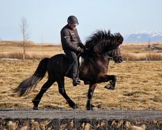 Tölt, the unique fifth gait of Icelandic horse. It feels—and looks—amazing, completely unlike any other gait. As fast as gallop but completely smooth. And did I say it looks tremendous?