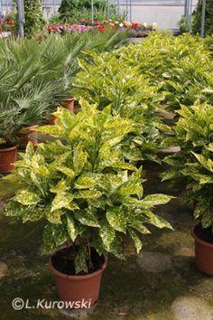 Aucuba japonica 'Crotonifolia' Japonica, Plants, Garden, Tree, Shrubs