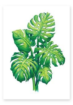 Monstera Art Print by sanjanabaijnath : Monstera Art Print by Sanjana Baijnath Illustration Botanique, Plant Illustration, Botanical Illustration, Plant Painting, Plant Art, Leaf Drawing, Tropical Art, Tropical Leaves, Leaf Art
