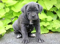Priscilla Keystone Puppies: Puppies for Sale Health Guaranteed Cane Corso Puppies, Puppies Puppies, Puppies For Sale, Cute Puppies, Cute Dogs, Animals And Pets, Baby Animals, Cute Animals, Small Dog Breeds