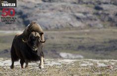 Elu Inlet Lodge - Musk Ox of Nunavut.