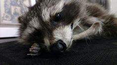 Check out this item in my Etsy shop https://www.etsy.com/listing/490449273/raccoon-soft-mount-taxidermy