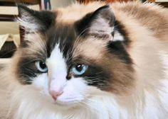 Ragdoll cat :)))