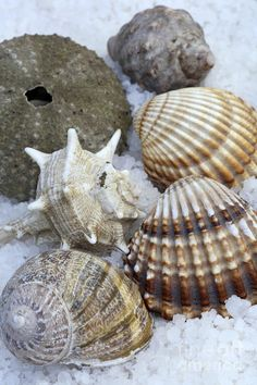 Large Seashells | Seashells Photograph by Frank Tschakert - Seashells Fine Art Prints ...