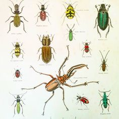 Brilliant Beetles. Antique hand painted #engraving at finerareprints.com