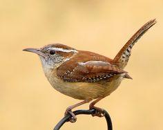 CAROLINA WREN Spring comes to Missouri - Bird Watching Forum - GardenWeb -