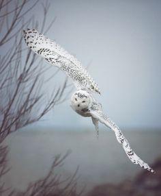"expression-venusia: ""Snowy Owl In Flight Expression """