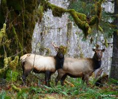 The Easy Day Hikes in the Winter Rain of the Olympic National Park. The Olympic Peninsula is probably my favorite place I've ever been. I just want to live there forever Olympia National Park, Us National Parks, Roosevelt Elk, Rainforest Biome, Hiking In The Rain, Olympic National Forest, Winter Hiking, Winter Rain, Evergreen State