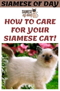 Having a cat at home is always a good idea as they provide great companionship and keep mood fresh. Our of all cat breeds, Siamese is considered one of the best pet to have at home. If you are thing to get Siamese cat to your home then you must know how to take care of your feline friend. #siamese #siameseofday #cats #pets #kittens #Blog #cattips #cathealth #kitten #justcats All Cat Breeds, Dog Breeds, Siamese Cats, Kittens, Senior Cat Food, Normal Body Temperature, Cat Tree House, Cat Perch, Kitten Care