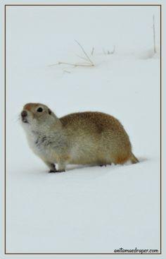 Prairie Dog, RM Montmartre, Saskatchewan, March 2018. Credit: Anita Mae Draper Canadian Wildlife, March, Bird, Dogs, Photos, Animals, Image, Pictures, Animales