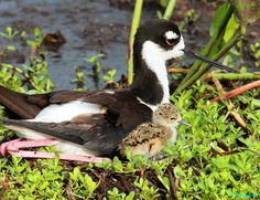BLACK NECK STILTS - MOM AND DAY OLD CHICK