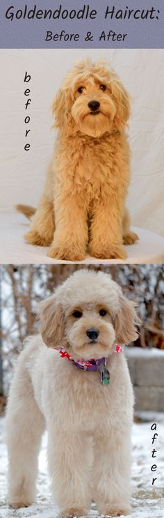 Goldendoodle haircut before and after pictures - very helpful website about goldendoodle grooming