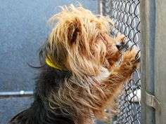 SAFE 5-25-2015 by Waggin Train Rescue --- Manhattan Center SNAPE – A1036826 MALE, TAN, YORKSHIRE TERR MIX, 7 yrs STRAY – STRAY WAIT, NO HOLD Reason STRAY Intake condition UNSPECIFIE Intake Date 05/18/2015